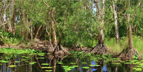 landscape swamp paperbarkforest melaleucaquinquenervia wetlands bongaree bribieisland melaleuca paperbarktrees nikond850 nature trees nikon2401200mmf40
