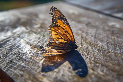 Battered Butterfly Body 3