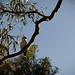 kookabura-australie