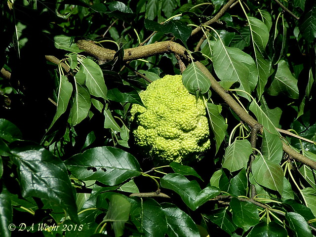 Osage Orange, Fujifilm FinePix S5200