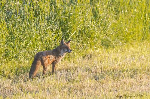 Red Fox. ( Explored.)
