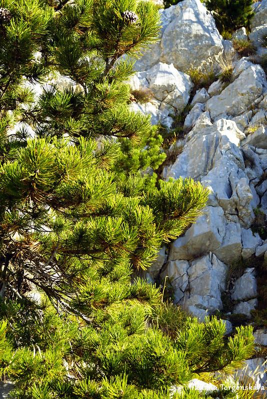 Ветви сосны и камни