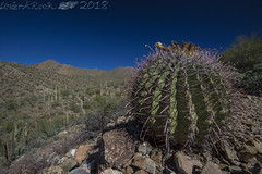 Fishhook Barrel, King Canyon, Tucson Mountain Section, Saguaro National Park, Pima County, Arizona