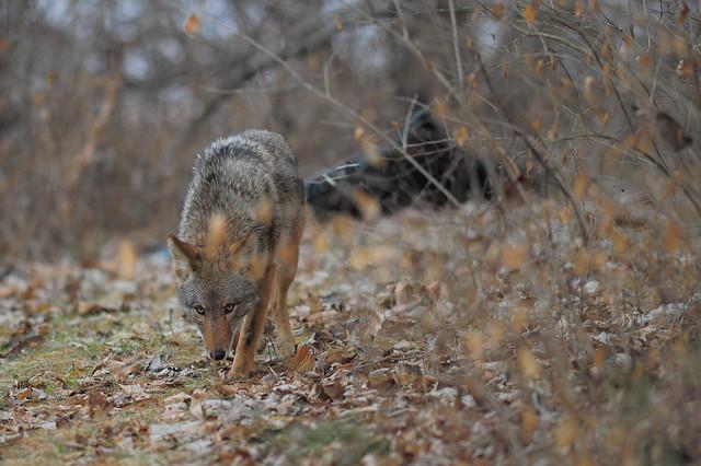 coyote, Nikon D3S, AF Nikkor 300mm f/4 IF-ED
