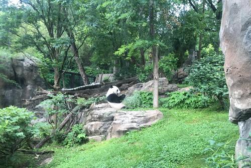 Good Morning (Panda Bei Bei)
