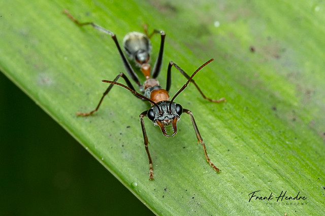 Bull ants, Myrmecia sp, Canon EOS 6D, Canon EF 100mm f/2.8 Macro USM