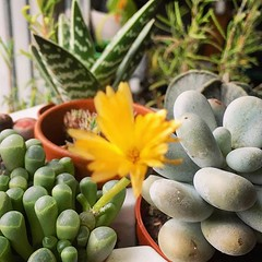 Succulent got moved inside for winter and flowered #babytoes