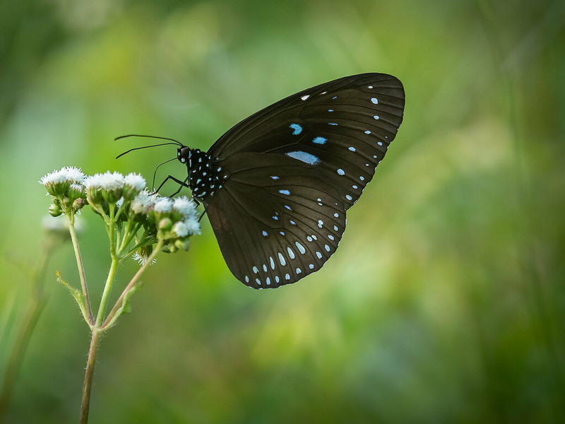 Blue Striped Crow Butterfly
