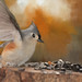 tufted titmouse landing art by Anne Davis 773