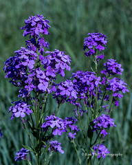 Dame's Rocket (Hesperis matronalis) Invasive from Europe - - common throughout lower elevations of Black Hills in late spring, SD/06 Mustard family