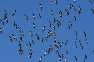 Kranich crane grus grus