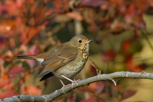 Hermit Thrush (explored 12/31/18)