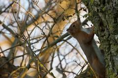 Ecureuil roux - Esquiròl - Red squirell -Sciurus vulgaris