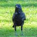 Crow_A232560