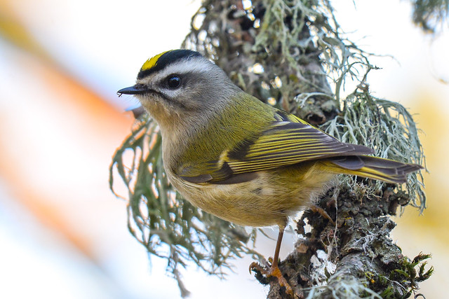 Golden-crowned Kinglet, Nikon D7100, AF-S Nikkor 300mm f/4E PF ED VR