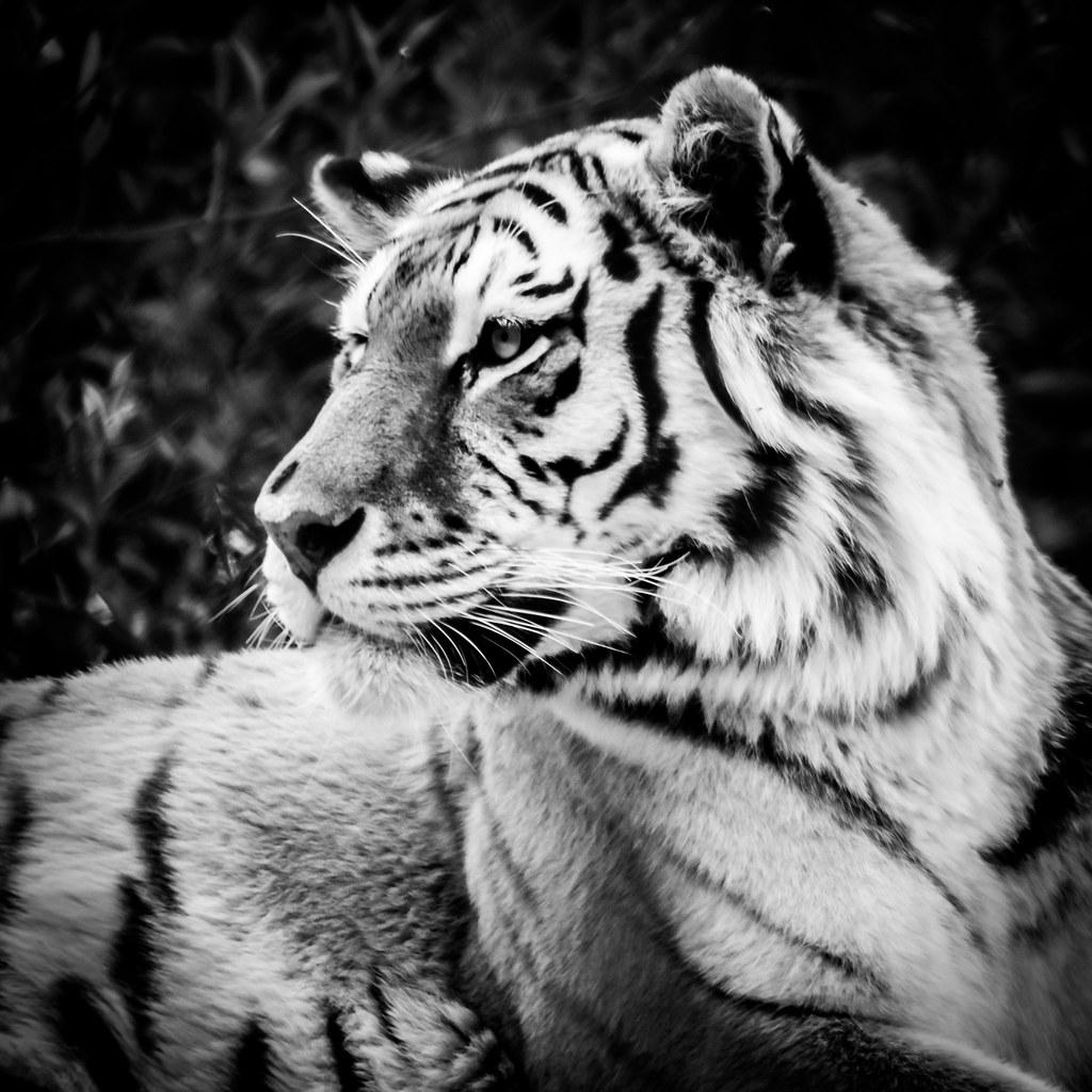 abstract mono tiger
