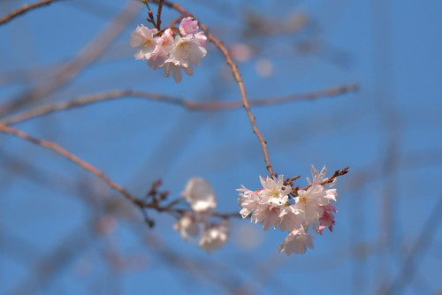 DSC_8704 十月桜