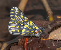 Golden Dartwhite - Catasticta teutila flavomaculata (Pieridae, Pierinae, Pierini) 109h-0408