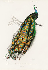 Indian peafowl (Pavo Cristatus) illustrated by Charles Dessalines D' Orbigny (1806-1876). Digitally enhanced from our own 1892 edition of Dictionnaire Universel D'histoire Naturelle.