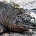 Iguana by Catsbow