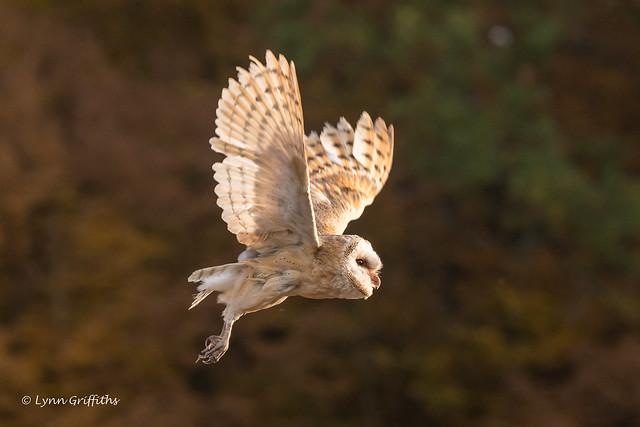 Barn Owl - Late evening 501_5350.jpg