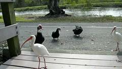 white ibis & geese