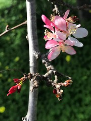 Crabapples In Bloom