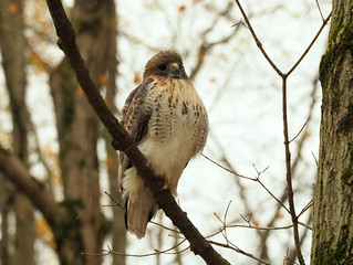 Red-tailed Hawk by Kathy Murphy