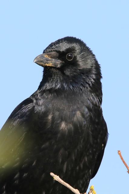 Crow-7D2_0322-001