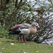 Egyptian goose, Wollaton Park