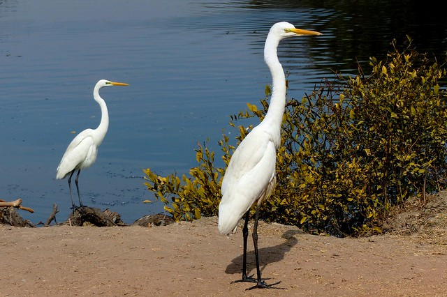 Great Egret - Out for a walk - Bharatpur Bird Sanctuary