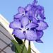 Vanda coerulea species orchid 11-18