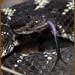 _03A0944 Arizona Black Rattlesnake ©Dancing Snake Nature Photography by Dancing Snake Nature Photography