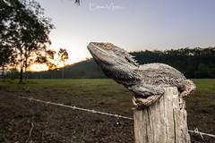 Eastern Bearded Dragon (Pogona barbata)   SEQ