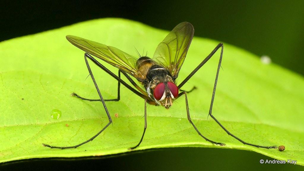 Tachinid fly, Cholomyia inaequipes?