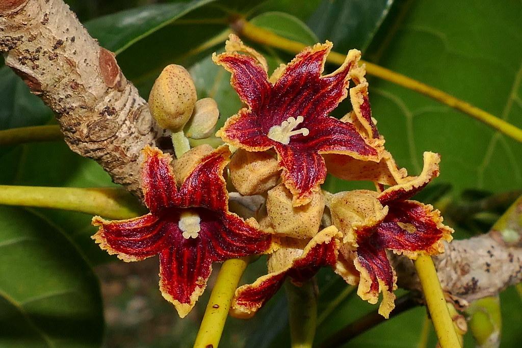 Acropogon bullatus 45932686642_668508eb79_b
