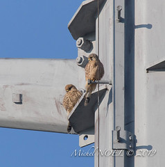 Faucon crécerelle Falco - tinnunculus - Common Kestrel : Michel NOËL © 2019-8752.jpg