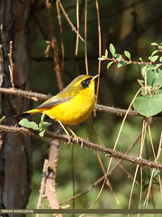 Golden Bush-robin (Tarsiger chrysaeus)