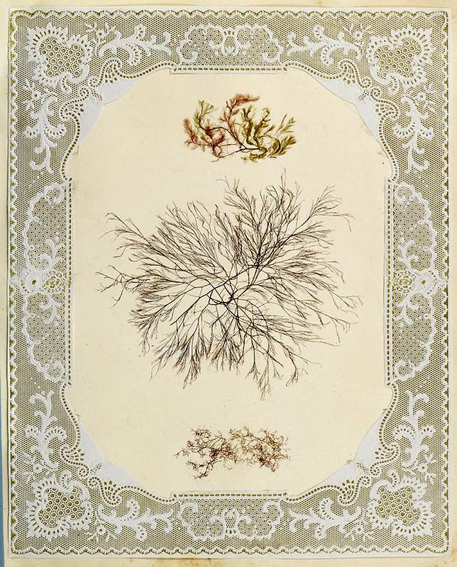 004-Album de algas marinas-1848- Brooklyn Museum Library
