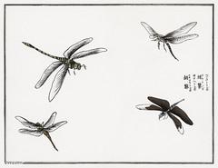 Dragonflies illustration from Churui Gafu (1910) by Morimoto Tok