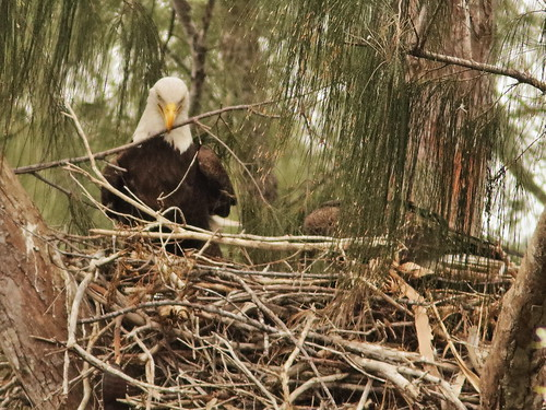 Bald Eagle 6170-20190125