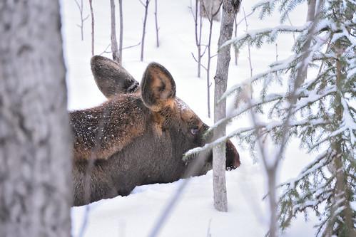 Moose Calf in the Snow