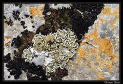 Squamarina gypsacea, Romjularia lurida, Caloplaca ochracea