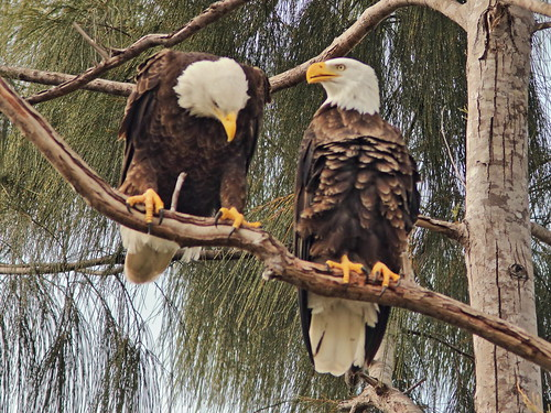 Bald Eagles Jewel and Pride 03-20181117