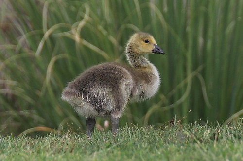 Canadian Goose-Chick