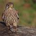 Female Kestrel with prey by bett_atherton