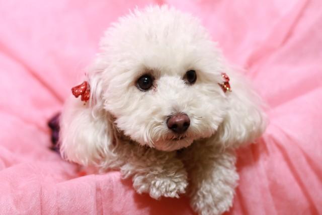 膀胱炎にかかりやすいメスの犬