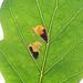 Ectoedemia albifasciella, Atholl Woods, Perthshire, Scotland