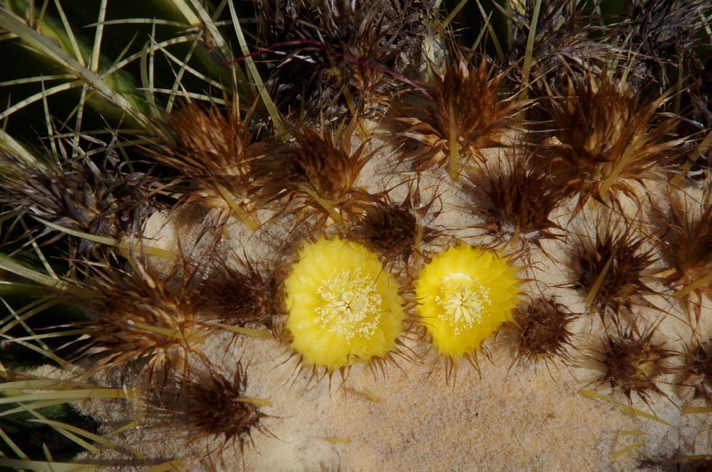 Echinocactus Grusonii The Palmetum Townsville Qld 11 0 Flickr