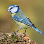 Blue tits at Millers wood today